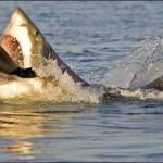 Un requin attaquant un phoque